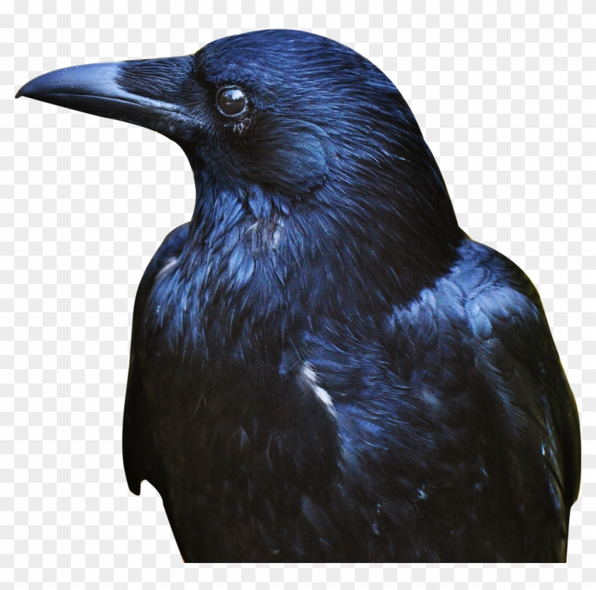 Download Crow Png Transparent Image - Crow Png Clipart #504863