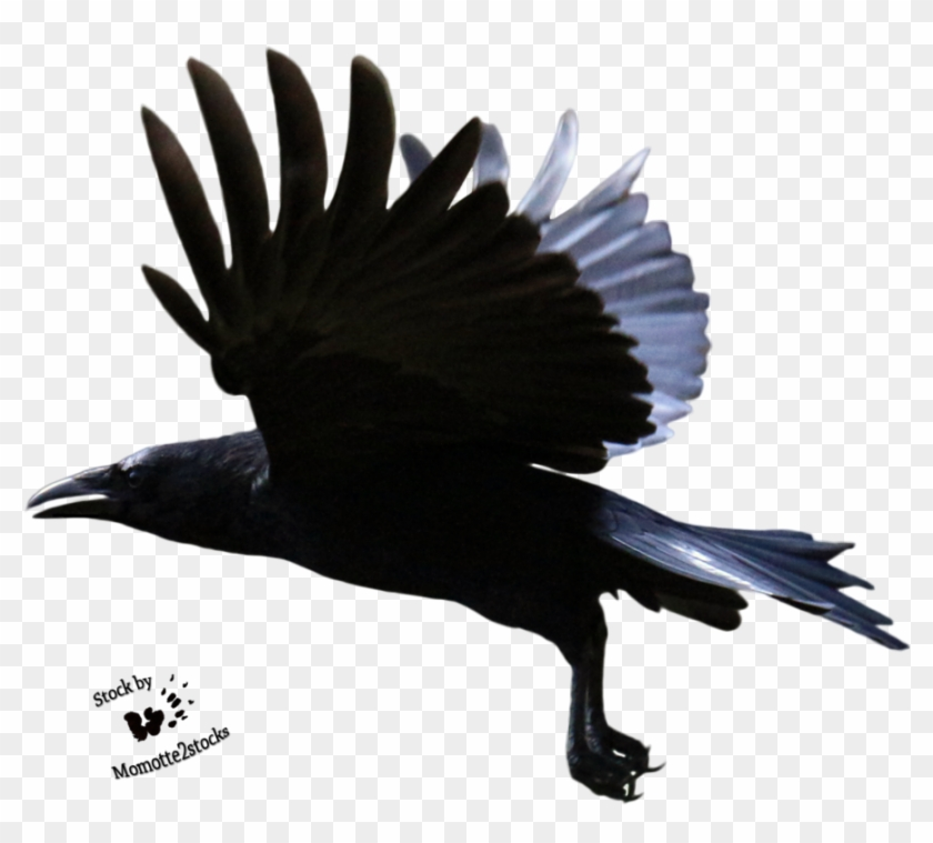 Flying Crow Png - Crow Flying Transparent Background Clipart #505407