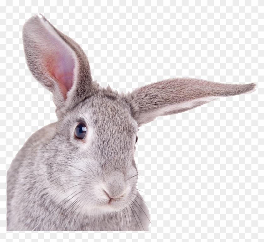 Rabbit Head White Background Clipart #512580