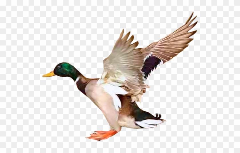Utka Pereletnaya Ptica Letyashaya Utka Duck Migratory Canard Tube Clipart 5257377 Pikpng