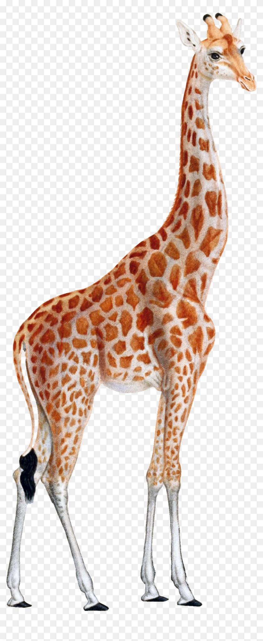 Giraffe Png - Giraffe Clipart Transparent Png@pikpng.com