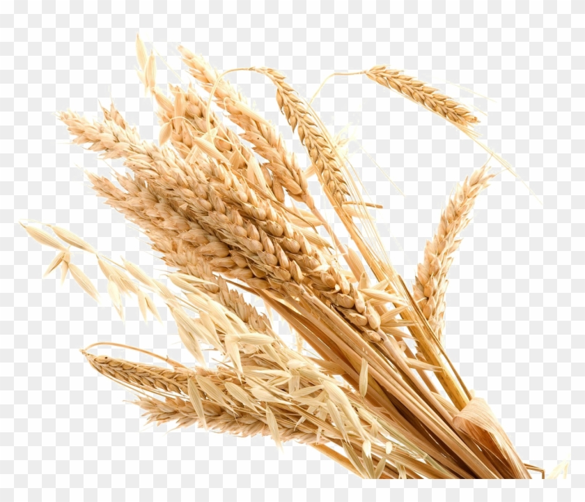 Wheat Transparent Background Png - Transparent Background Wheat Png Clipart #530998