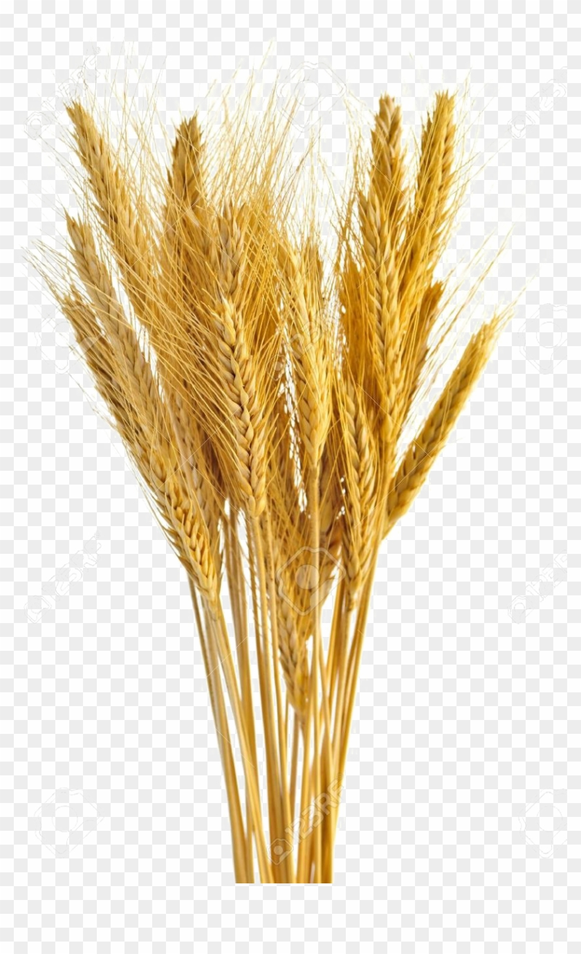 Bunch Of Wheat , Png Download Clipart #531103