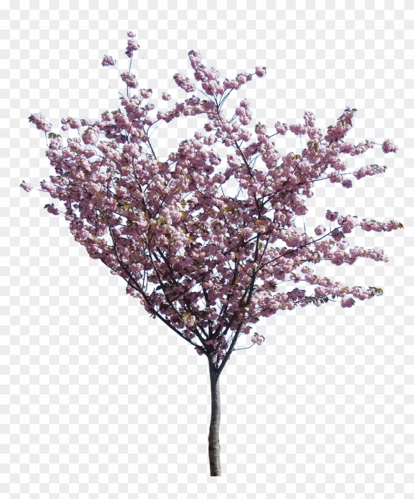 Photo Small Cherry Blossom Zpsntaimyjr - Cherry Blossom Png Tree Clipart #5317048