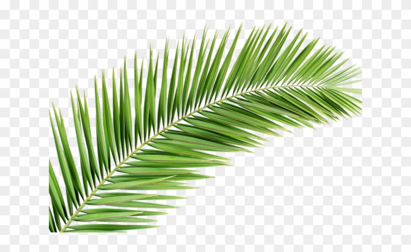 Leaves Png Transparent Images Palm Tree Leaf Png Clipart 5401432 Pikpng A leaf is an organ of a vascular plant and is the principal lateral appendage in this gallery green leaves we have 66 free png images with transparent background. palm tree leaf png clipart