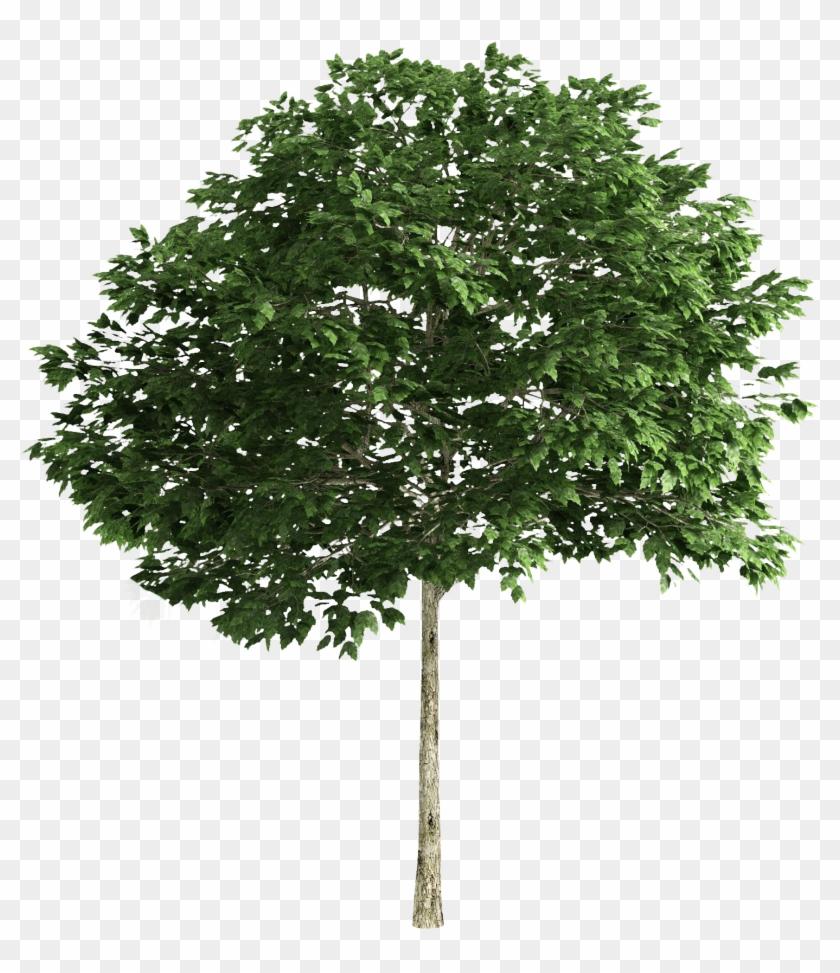 Tree Tree Photoshop, 3d Tree, Trees To Plant, Landscape - Multi Stem Tree Png Clipart #5402175