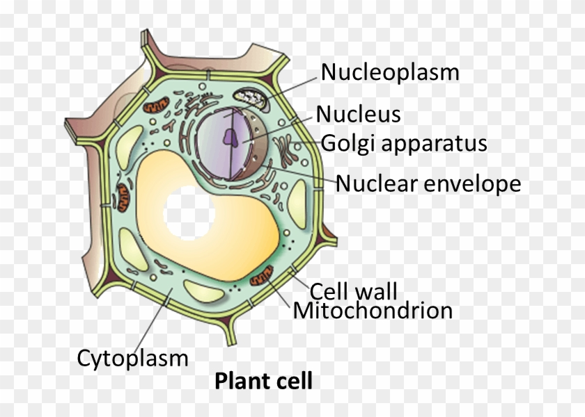 Download Hd Result For Plant Cell - Plant Cell Draw Clipart #5413770