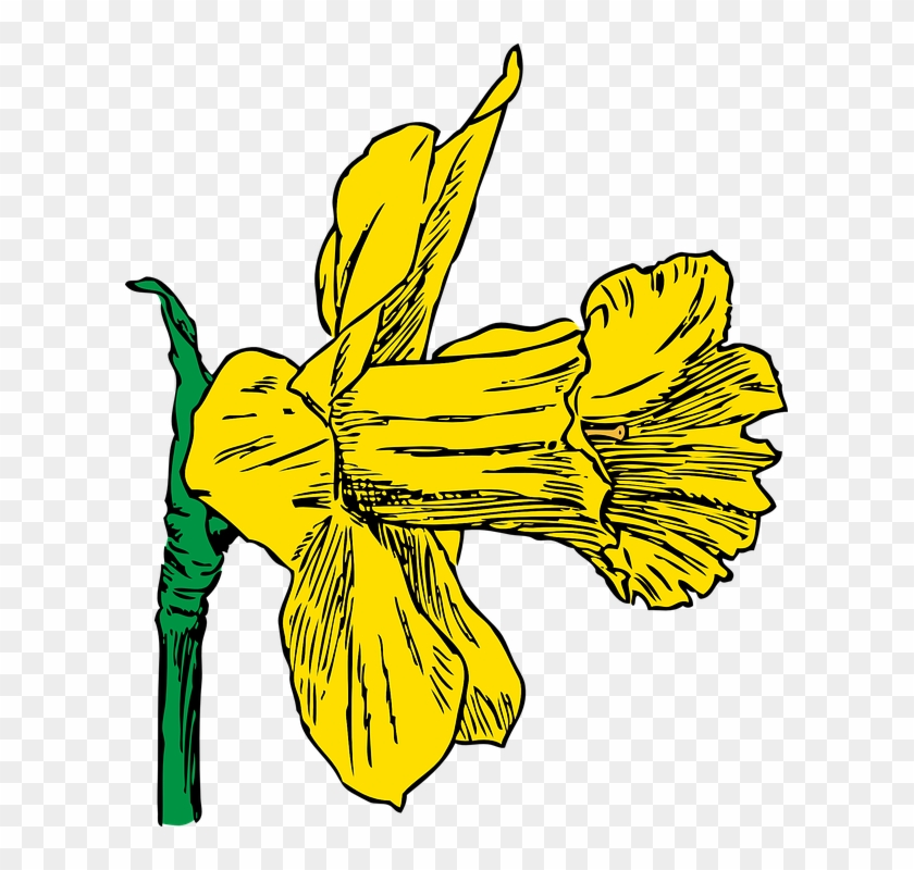Daffodil Season Spring Nature Plant Flower Yellow - Daffodil Clip Art - Png Download #5430679