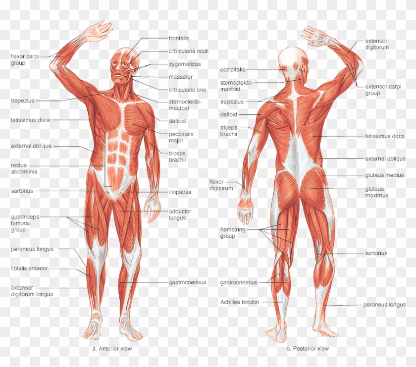 Responsible For The Movement Of The Human Body As It Labeled Front Muscular System Clipart 5447740 Pikpng