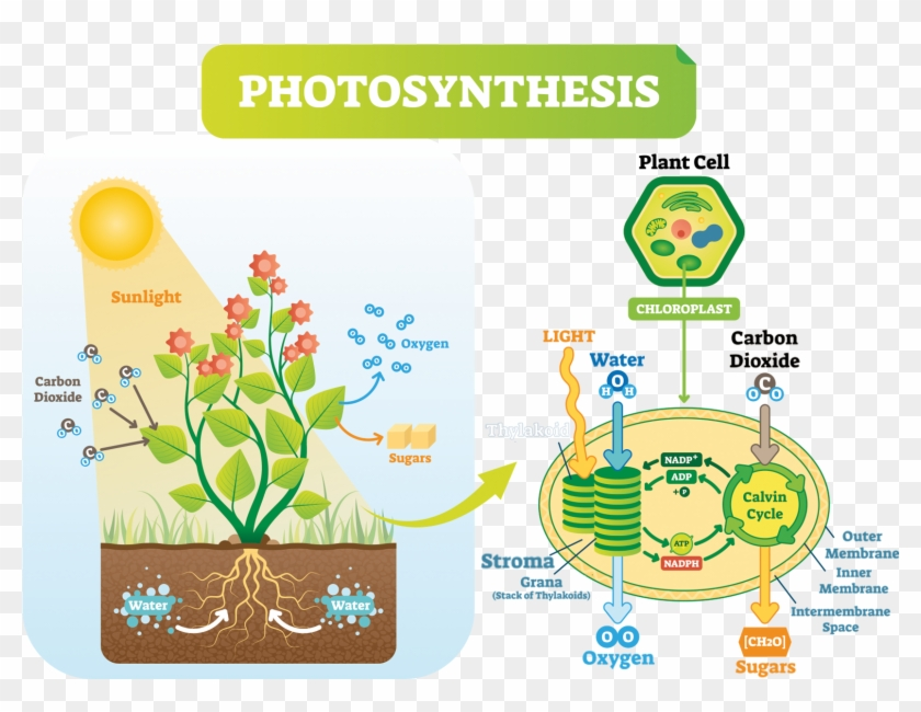 The Calvin Cycle - Plant Cell Photosynthesis Clipart #5499541