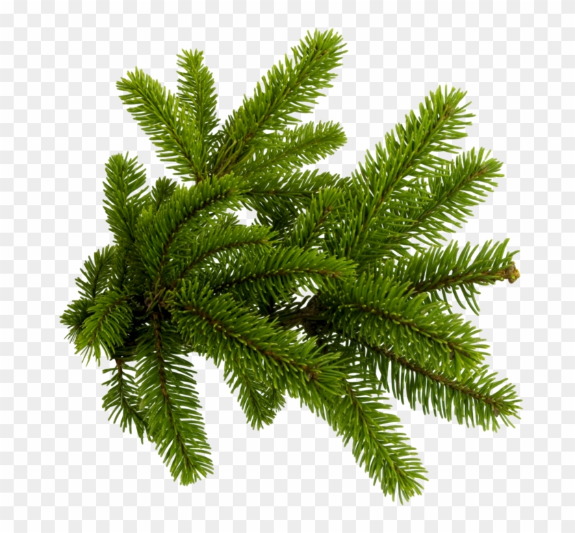 Pine Needles Png , Png Download - Pine Needles Png Clipart #5519404