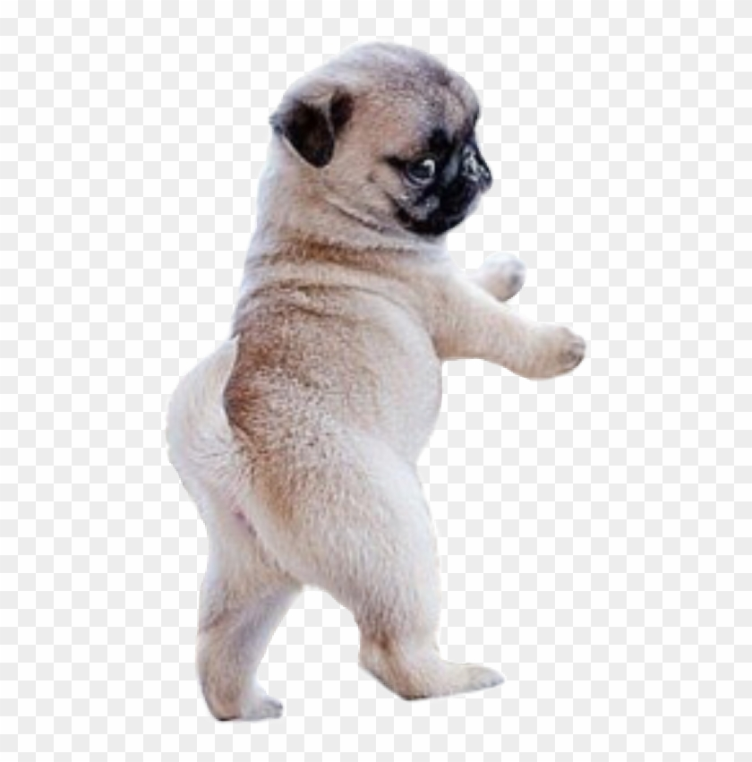 #dog #pug - Too Cute Adorable Pug Clipart #5831168