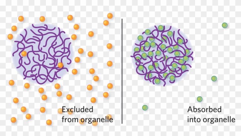 Kimberly Battista - Membraneless Organelles Clipart #5865151