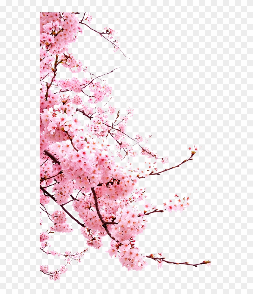 Bunga Png Japanese Cherry Blossom Png Clipart 5883760 Pikpng