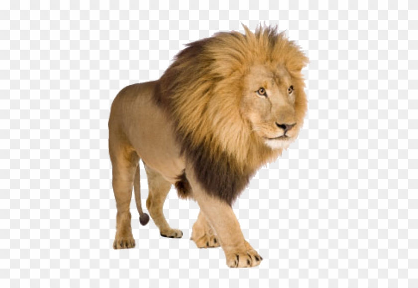 Lion Png Free Download Lion Pictures With White Background Clipart 596124 Pikpng