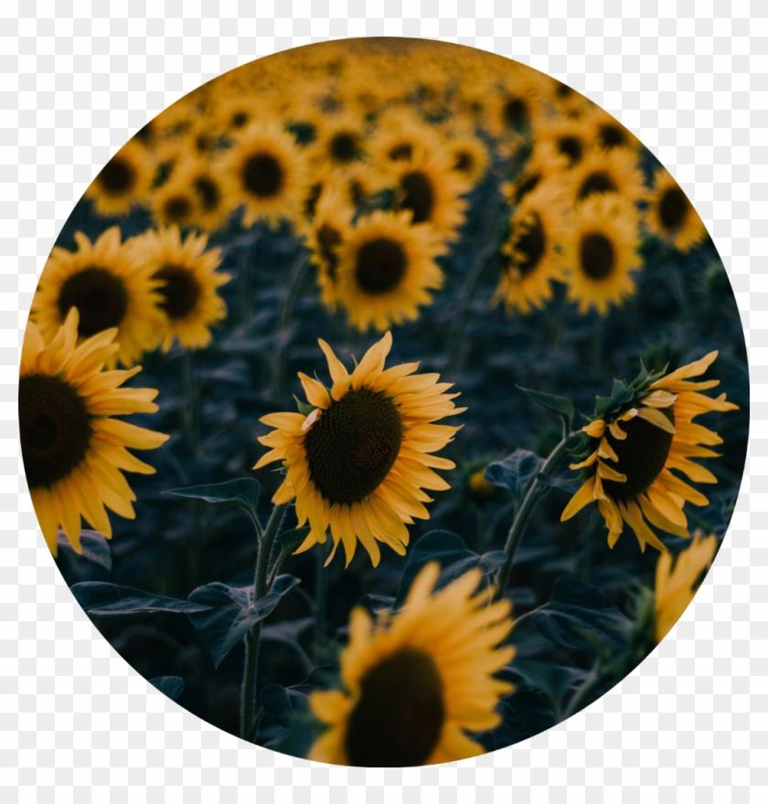 Icon Edit Aesthetic Tumblr Kpop Aesthetic Sunflower Sunflower Aesthetics Clipart 5959608 Pikpng