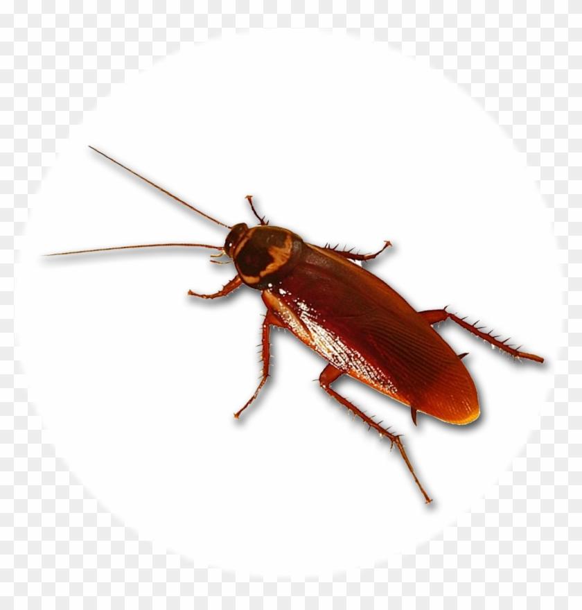 Cucaracha - Palmetto Bug Clipart #5971899