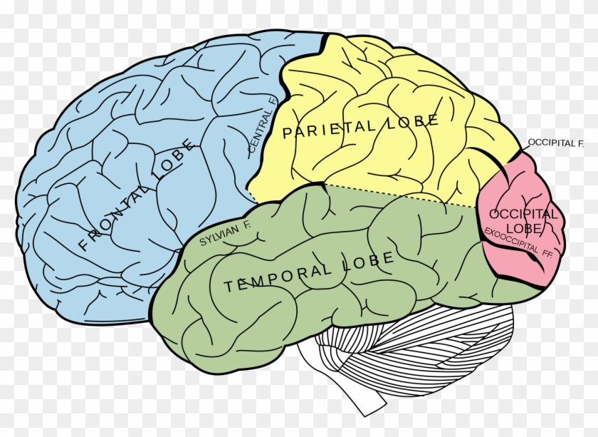 Learn Fascinating Studies About The Brain, Consciousness - Lobes Of The Brain Unlabeled Clipart #602998