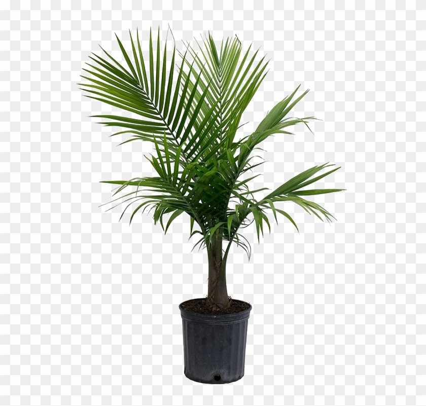 Palm Tree Png Picture - Majesty Palm Clipart #608967