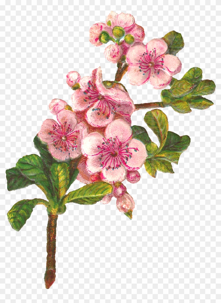 Apple Tree Flowers - Apple Blossom Png Clipart Transparent Png #634736