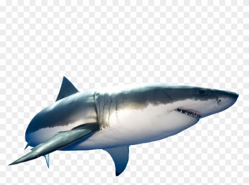 Great White Shark Great White Shark Png Clipart 687078 Pikpng All shark png images are displayed below available in 100% png transparent white background for free browse and download free shark png transparent image transparent background image. great white shark png clipart