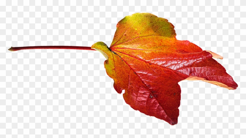 Autumn, Leaves, Leaf, Png, Transparent, Fall Color - Fall Leaves Transparent Clipart #85197