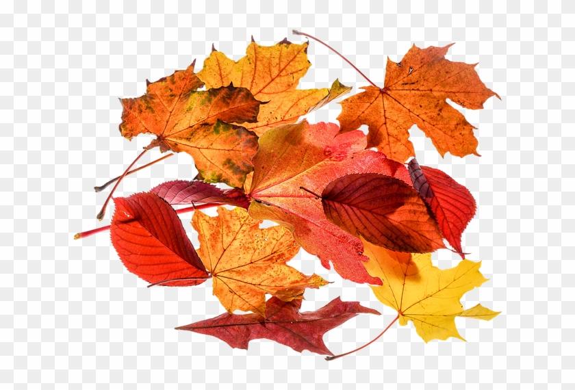 Autumn, Leaves, Leaf, Png, Transparent, Fall Color - Herbstblätter Png Clipart #85663