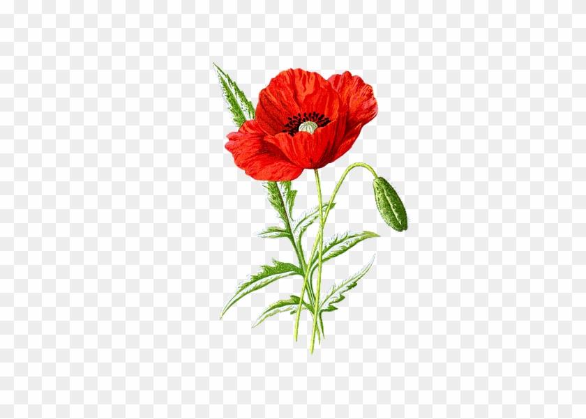 Botanical Poppy Clipart #814128