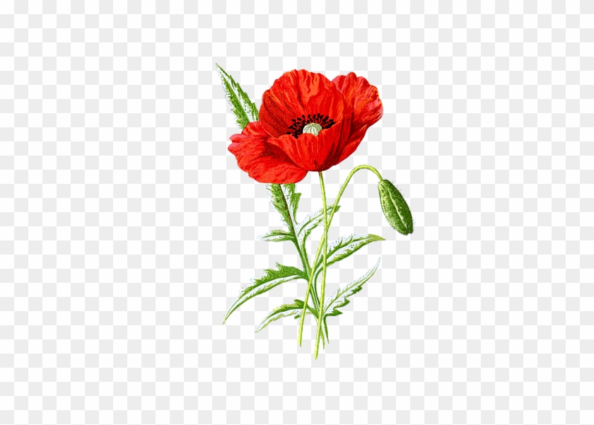 Botanical Poppy, HD Png Download #814128