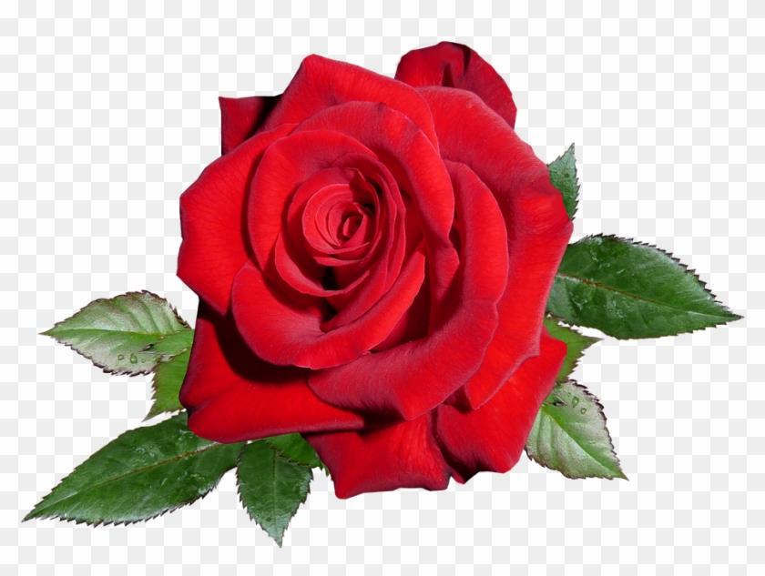 Garden Roses Clipart #875462