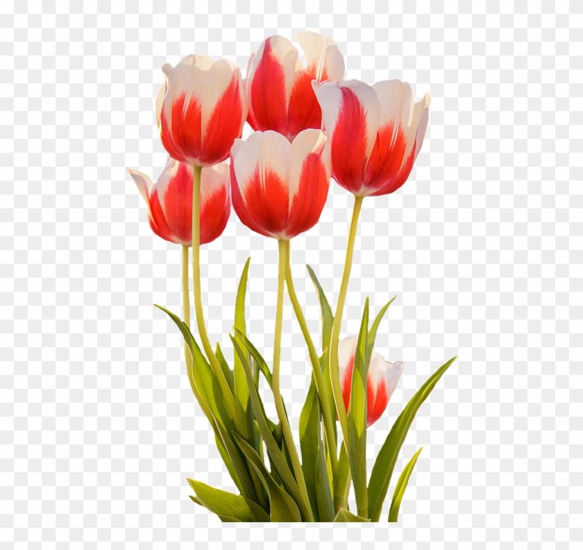 Gambar Bunga Tulip Mekar Clipart 886479 Pikpng