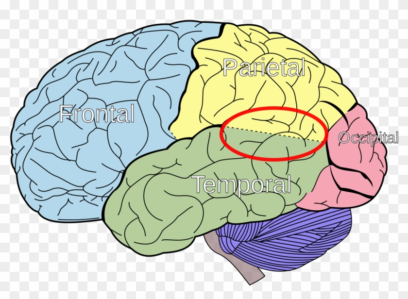 Lobes Of The Brain Clipart #924036